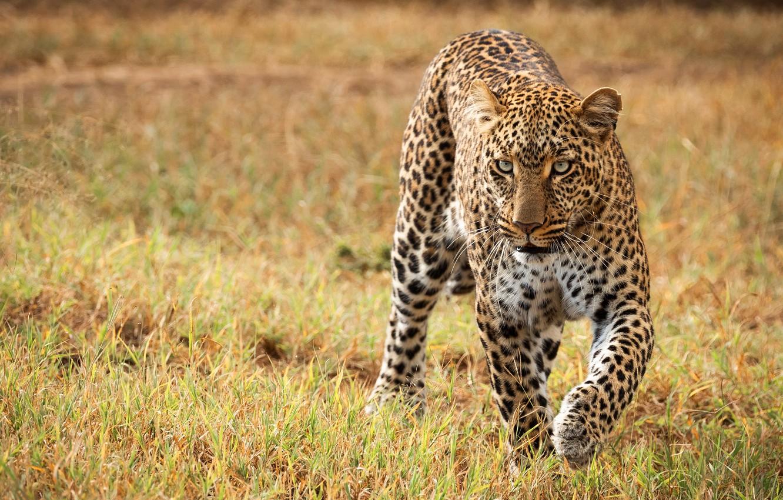 Photo wallpaper field, grass, look, Savannah, wild cat, sneaks, leoprad