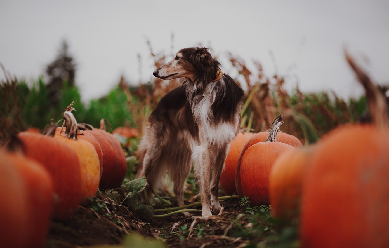 Photo wallpaper autumn, dog, pumpkin