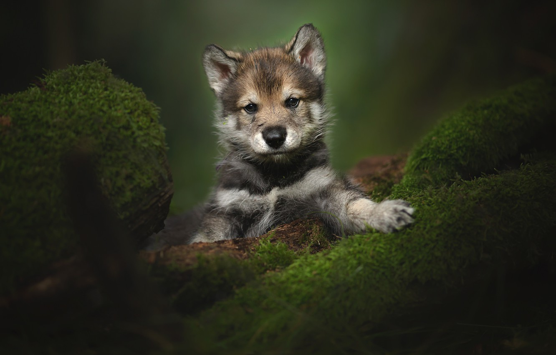 Photo wallpaper look, moss, portrait, puppy, The tamaskan dog
