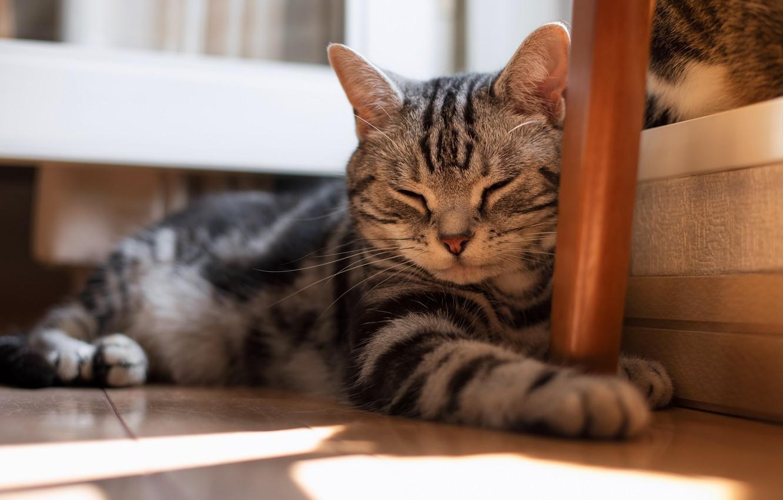 Photo wallpaper cat, cat, face, light, comfort, house, grey, stay, cats, furniture, sleep, paws, flooring, sleeping, floor, …