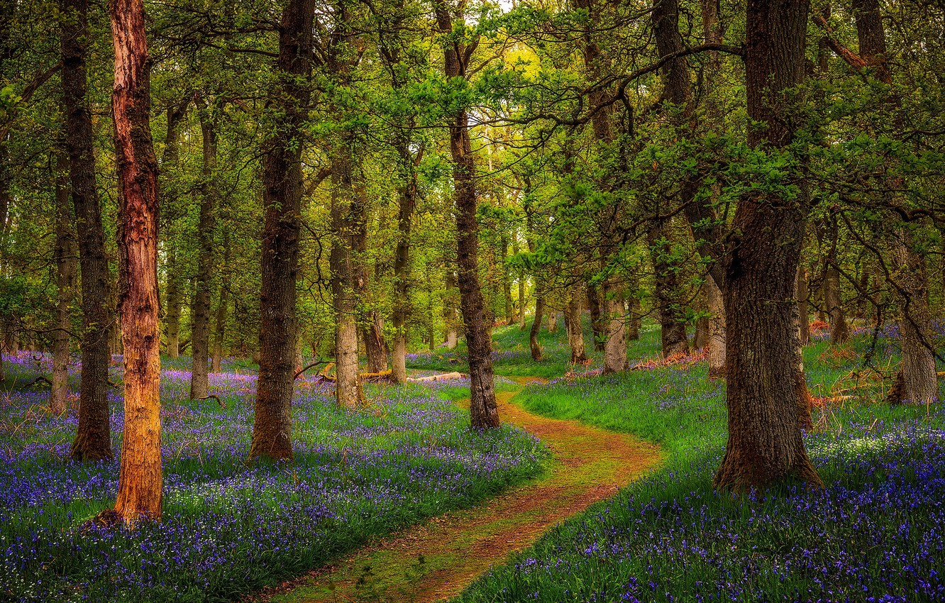 Photo wallpaper forest, Scotland, Scotland, Perthshire, Bluebell Woods