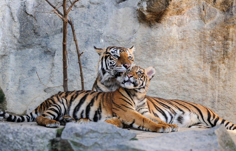 Photo wallpaper stones, predators, Germany, tigers, lie, Berlin, Animal Park