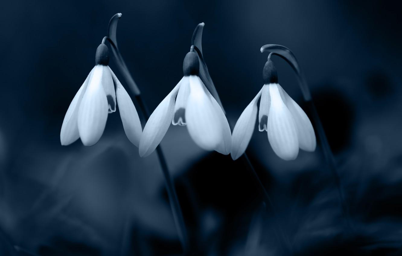 Photo wallpaper flowers, the dark background, spring, snowdrops, three, white, trio, monochrome