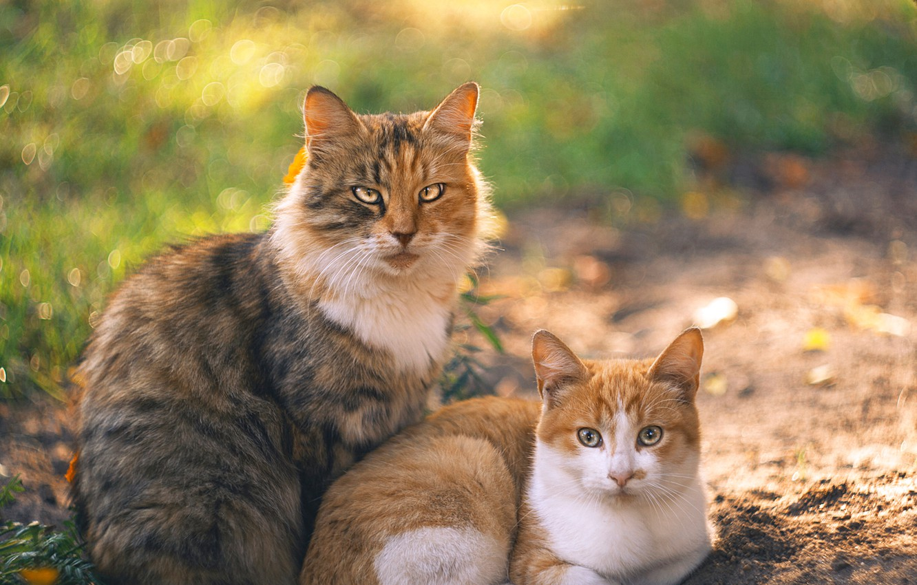 Photo wallpaper cat, cat, background, a couple, family portrait, Olga Alekseychik