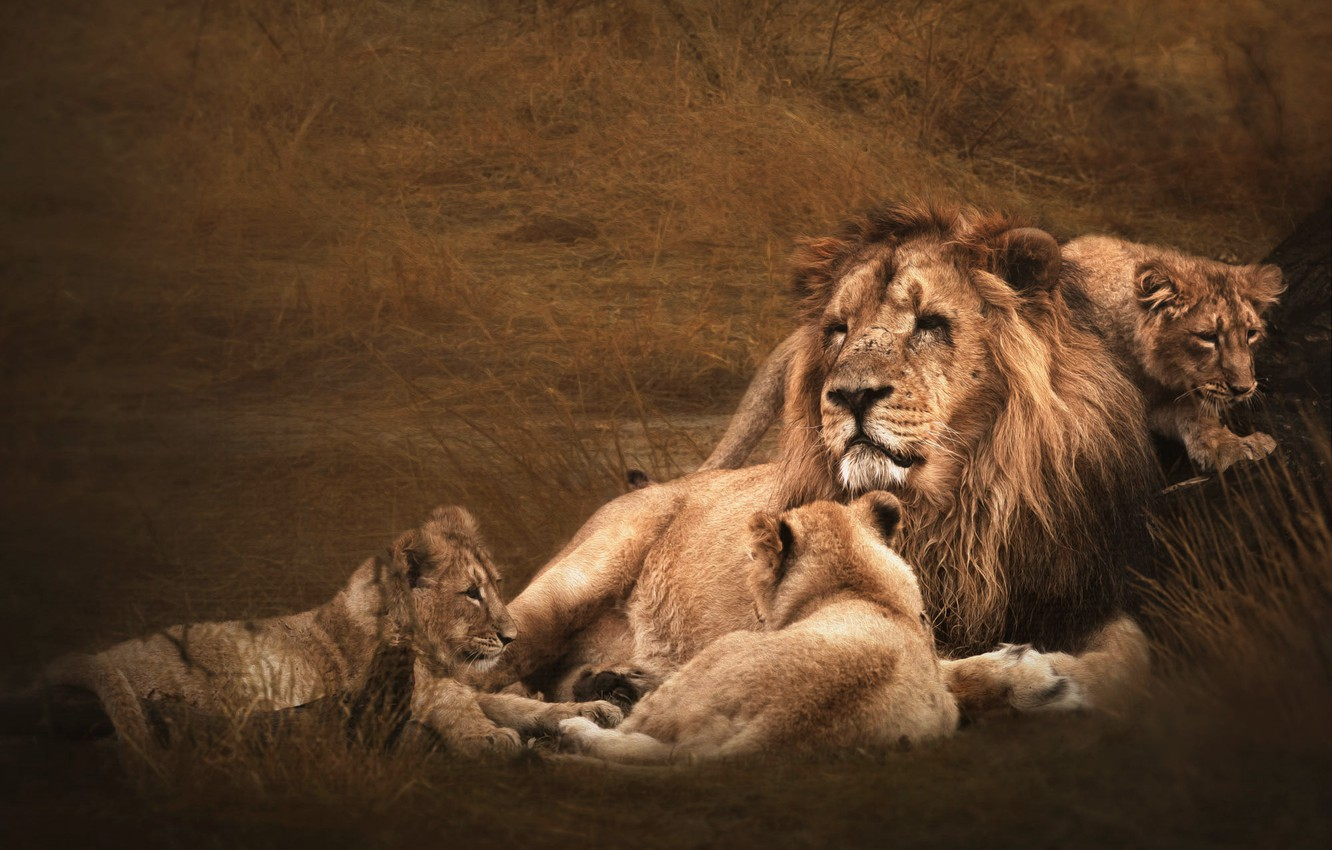 Photo wallpaper field, grass, face, pose, stay, Leo, family, father, three, kids, lions, the cubs, lion, lion, …