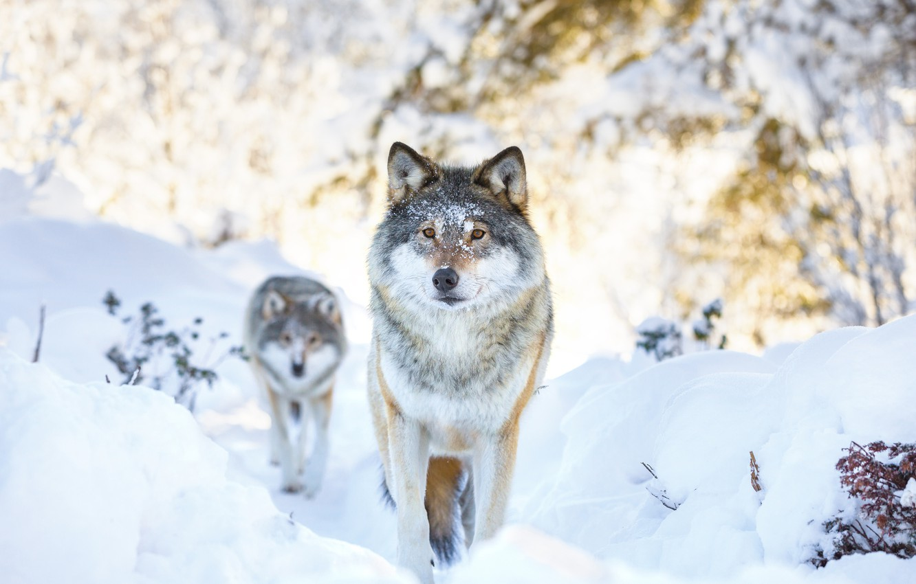 Photo wallpaper winter, snow, two, wolf