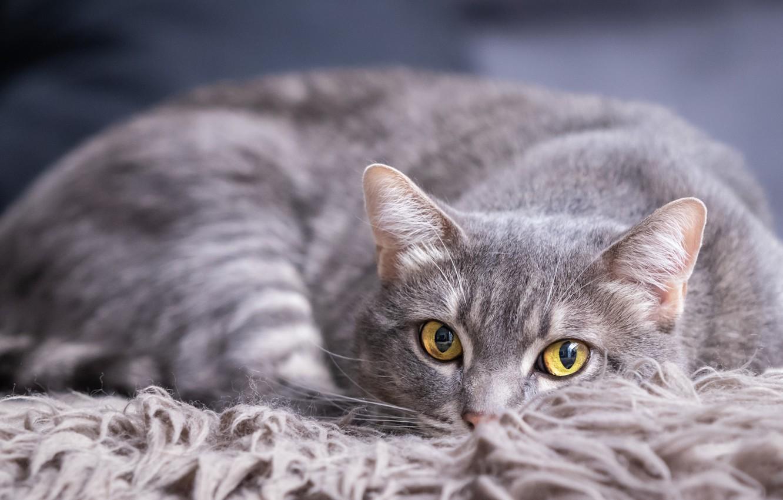 Photo wallpaper cat, cat, look, face, pose, grey, background, portrait, lies, fur, smoky, yellow eyes