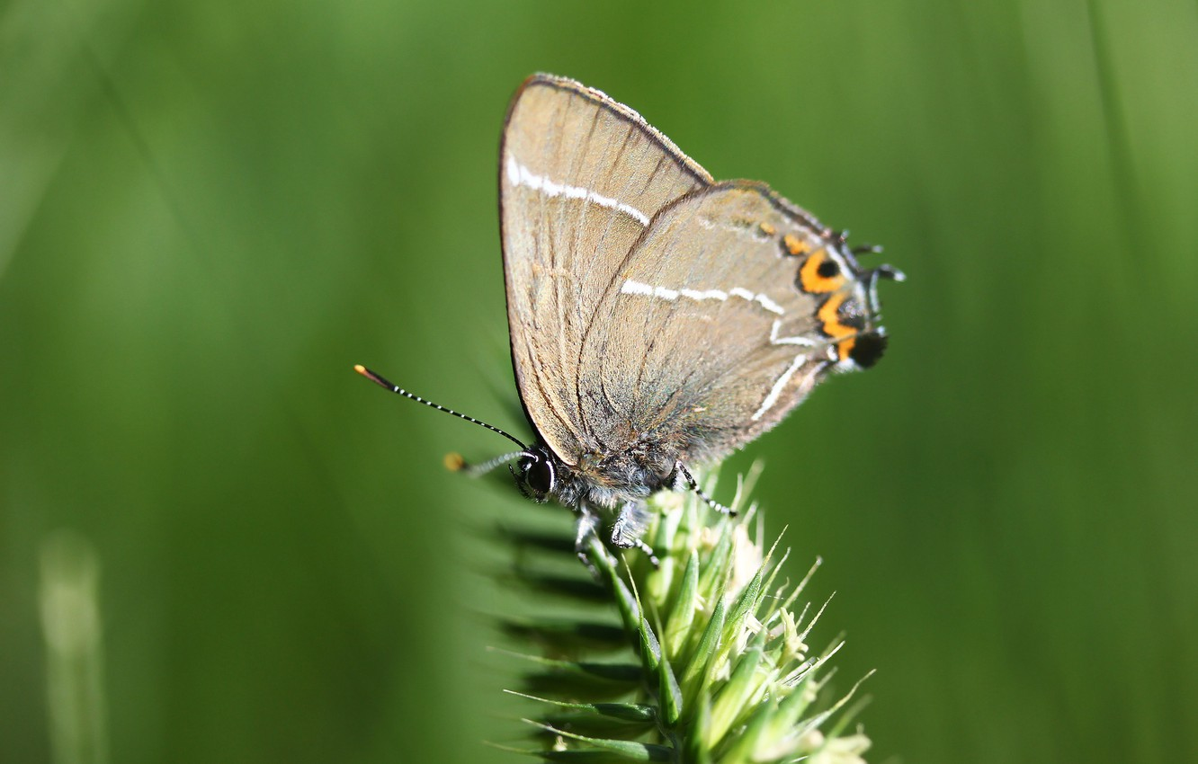 Photo wallpaper background, butterfly, insect, a blade of grass