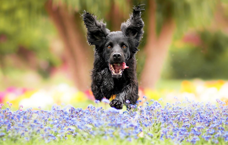 Photo wallpaper field, language, flowers, nature, Park, background, jump, glade, black, dog, garden, meadow, running, dog, ears, …