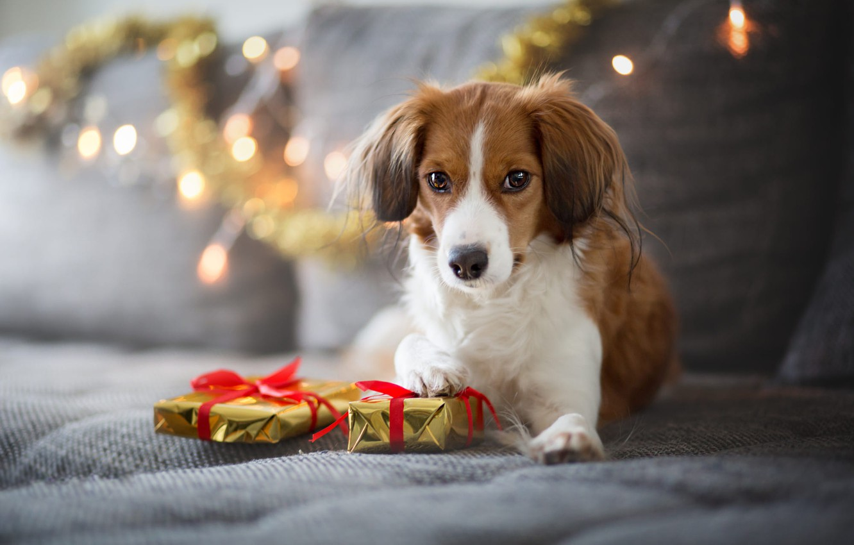 Photo wallpaper winter, look, lights, pose, comfort, house, sofa, holiday, dog, lights, Christmas, gifts, New year, lies, …