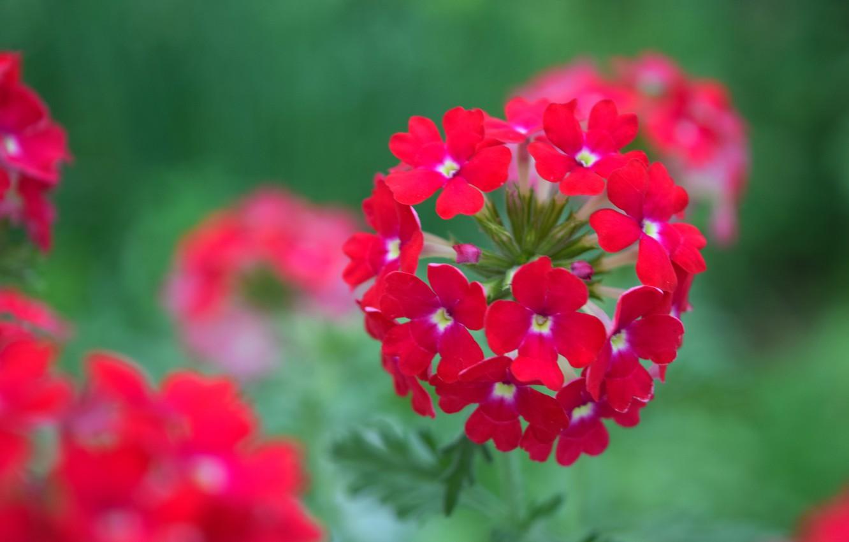Photo wallpaper summer, flowers, red, red flower, shirokoformatnye