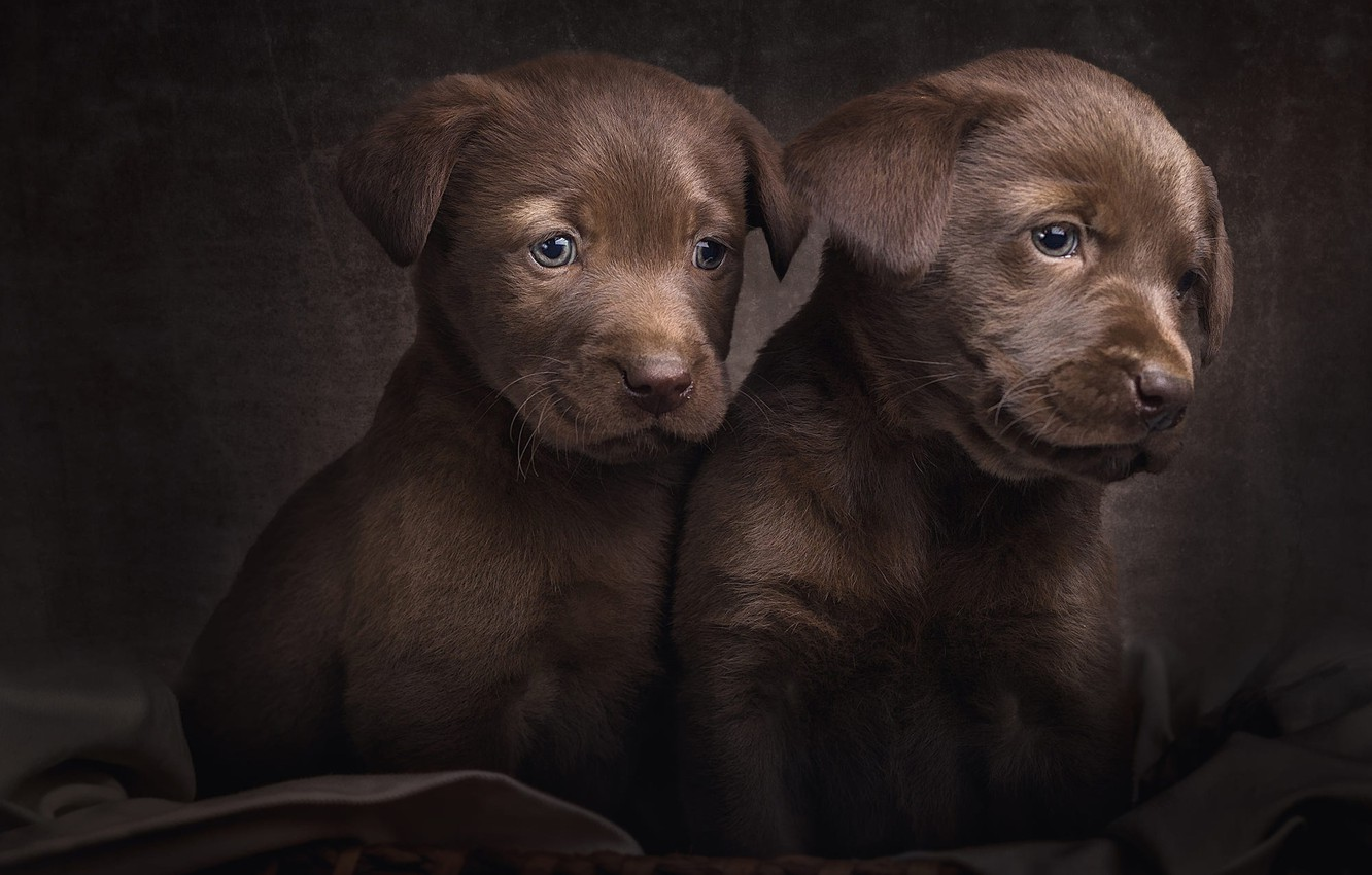 Photo wallpaper dogs, look, pose, the dark background, portrait, eyes, puppies, pair, puppy, fabric, kids, a couple, …
