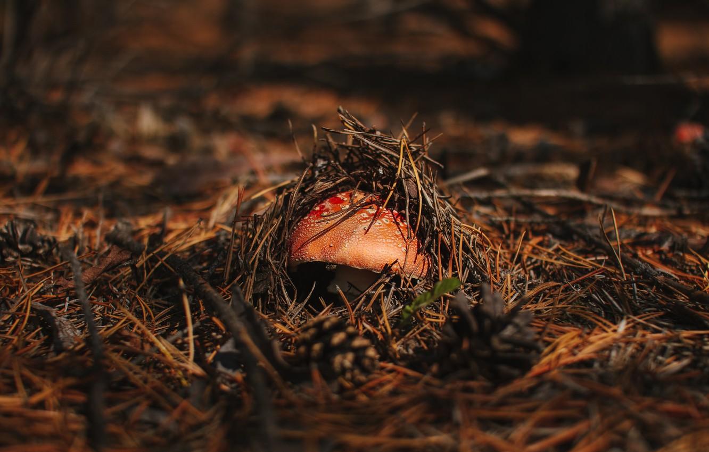 Photo wallpaper autumn, forest, nature, mushroom, mushroom
