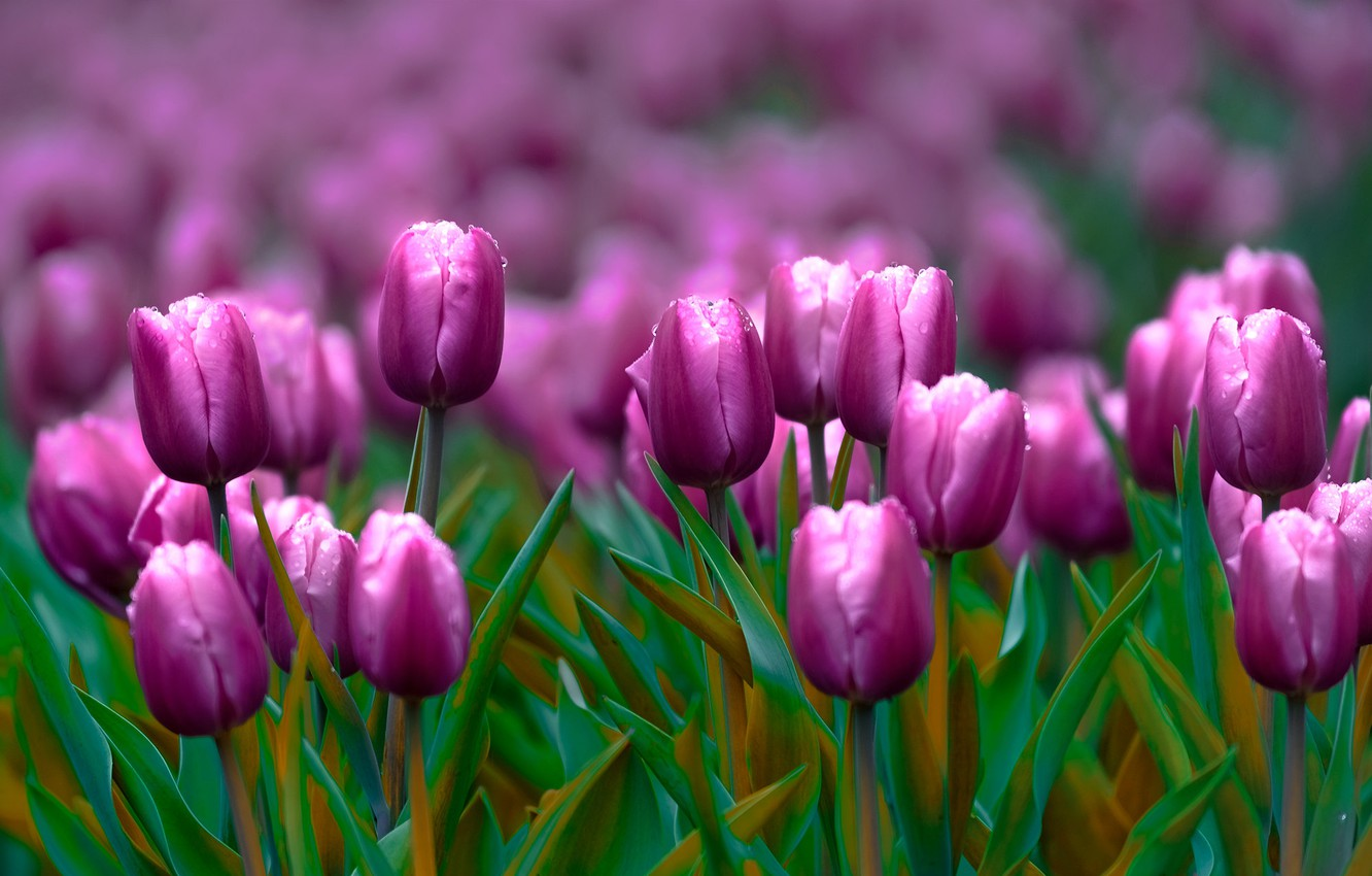Photo wallpaper flowers, spring, purple, tulips, buds, flowerbed, lilac