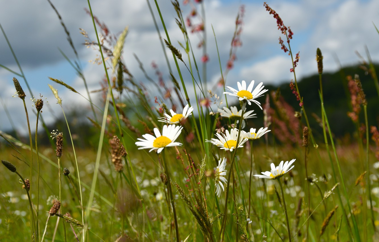 Photo wallpaper field, summer, the sky, grass, clouds, flowers, glade, chamomile, spikelets, meadow, white, field, blade