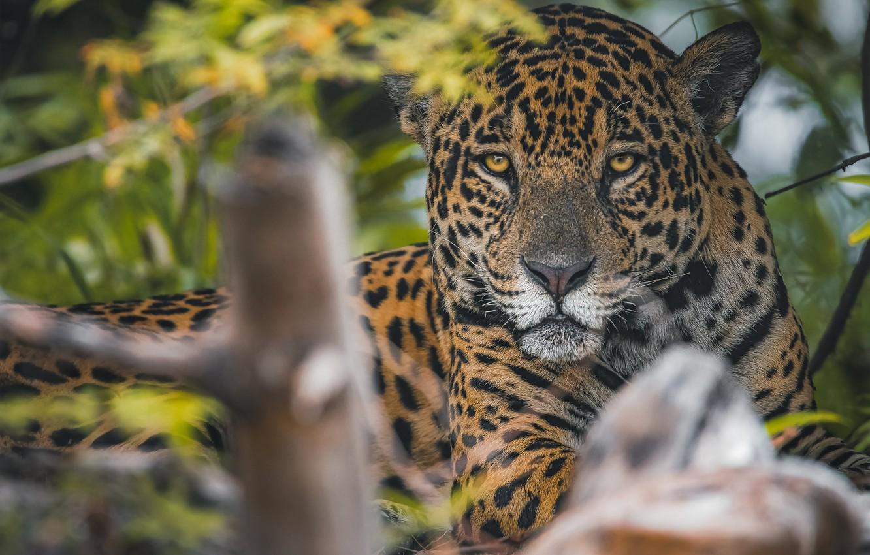 Photo wallpaper look, face, predator, Jaguar, wild cat