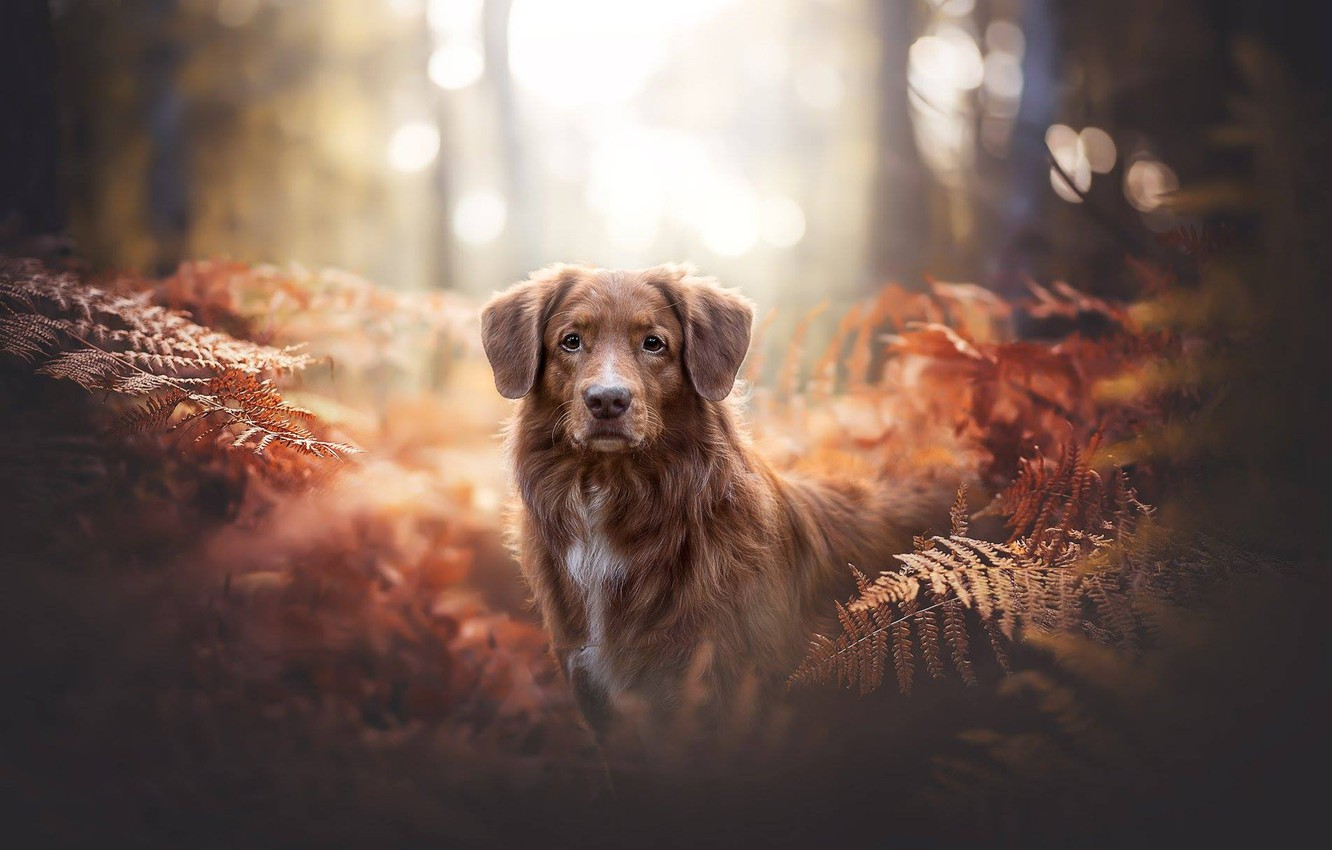 Photo wallpaper forest, look, dog, fern, bokeh, Nova Scotia duck tolling Retriever, Toller