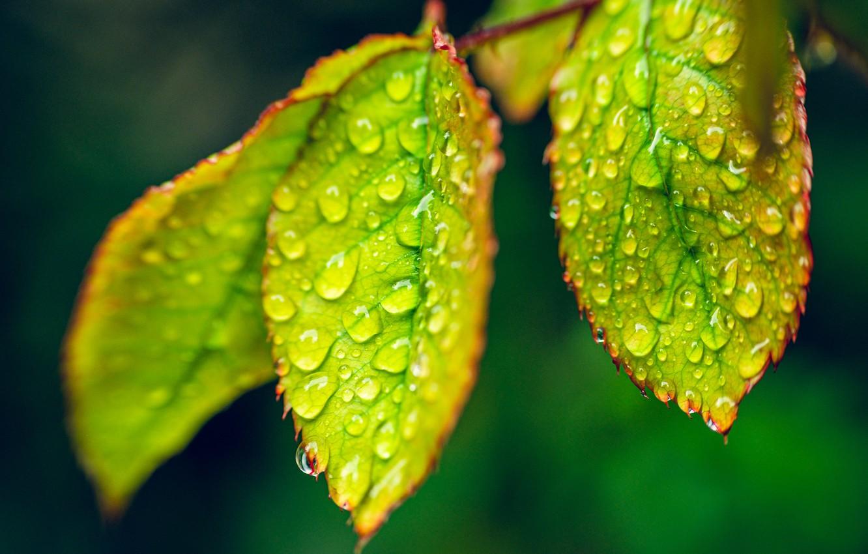 Photo wallpaper leaves, drops, macro, Rosa, dew drops