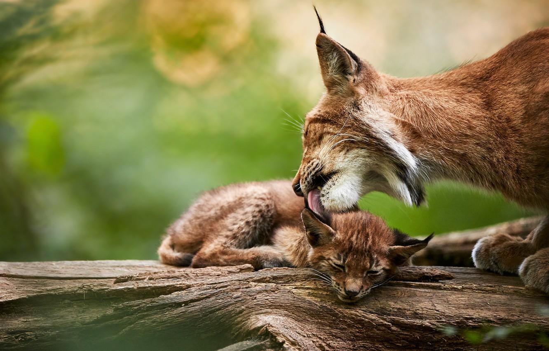 Photo wallpaper cub, lynx, wild cat, a mother's love, a small lynx