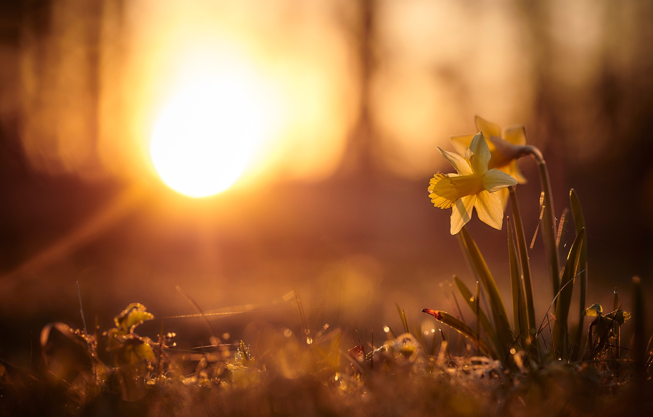 wallpaper the sun rays light sunset flowers nature background glade spring yellow daffodils bokeh images for desktop section cvety download wallpaper the sun rays light sunset