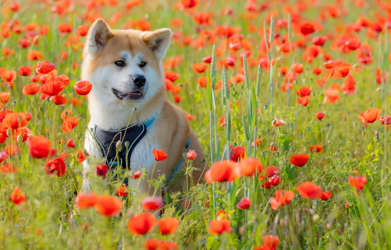 Photo wallpaper flowers, Maki, dog, meadow, Akita inu