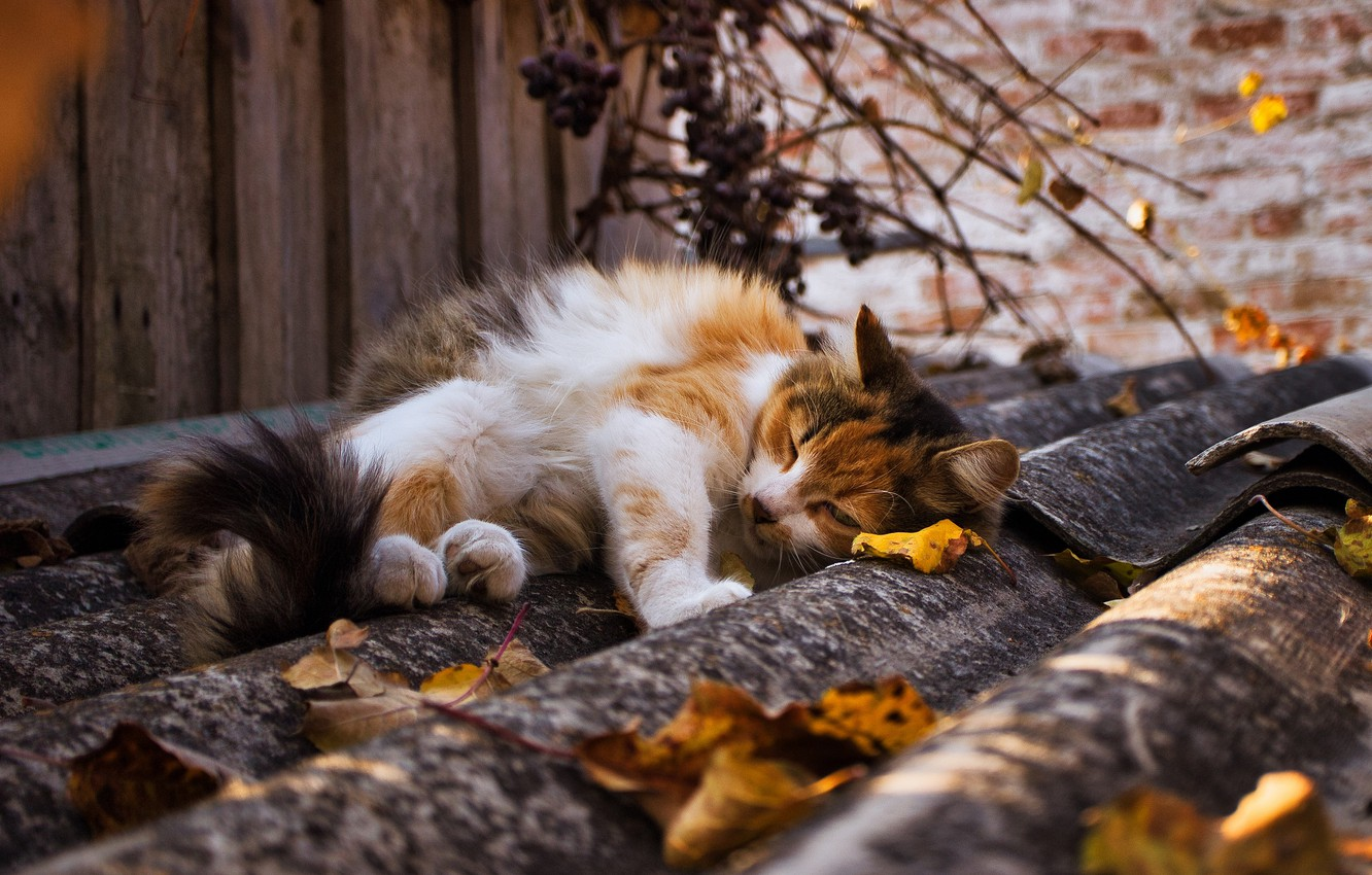 Photo wallpaper roof, autumn, cat, leaves, light, branches, pose, wall, stay, foliage, Board, lies, falling leaves, fluffy, …