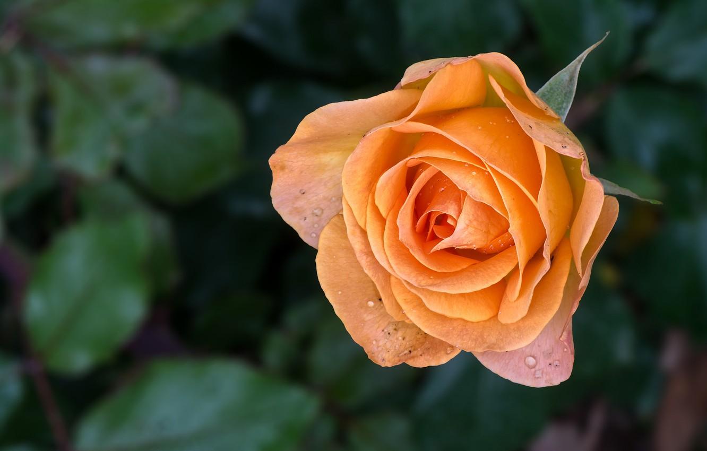 Photo wallpaper flower, background, rose