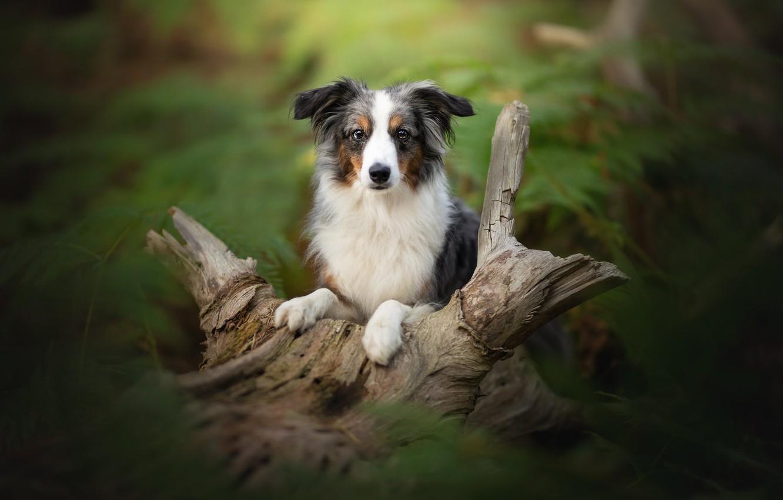 Photo wallpaper look, dog, blur, snag, Australian shepherd, Aussie