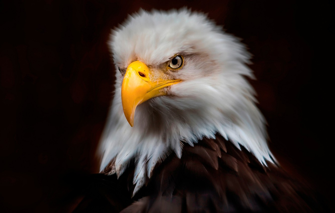 Wallpaper Look The Dark Background Bird Eagle Portrait