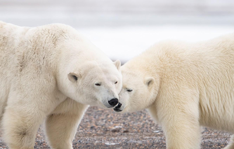 Photo wallpaper a couple, Polar bears, two bears, Polar bears