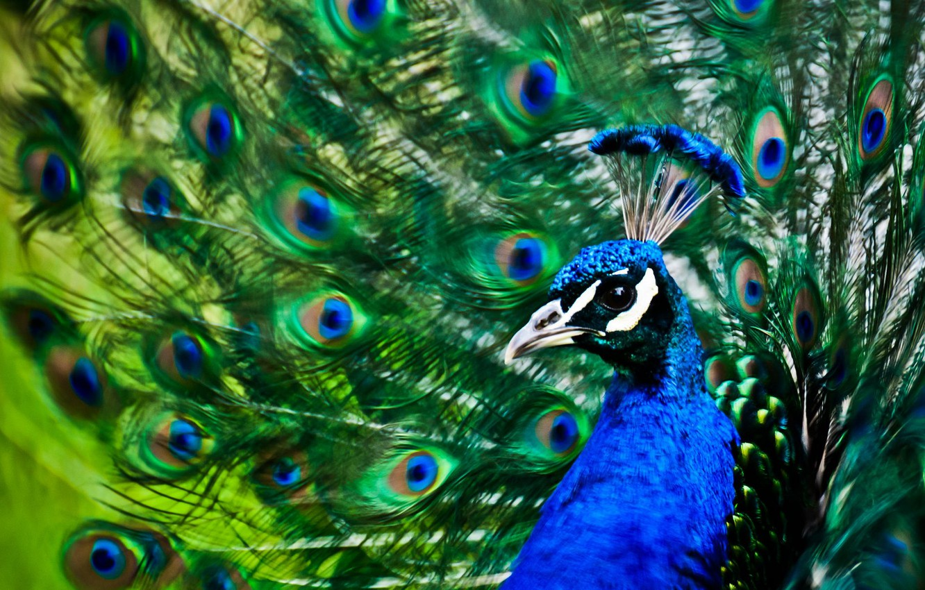 Photo wallpaper bird, patterns, feathers, tail, peacock