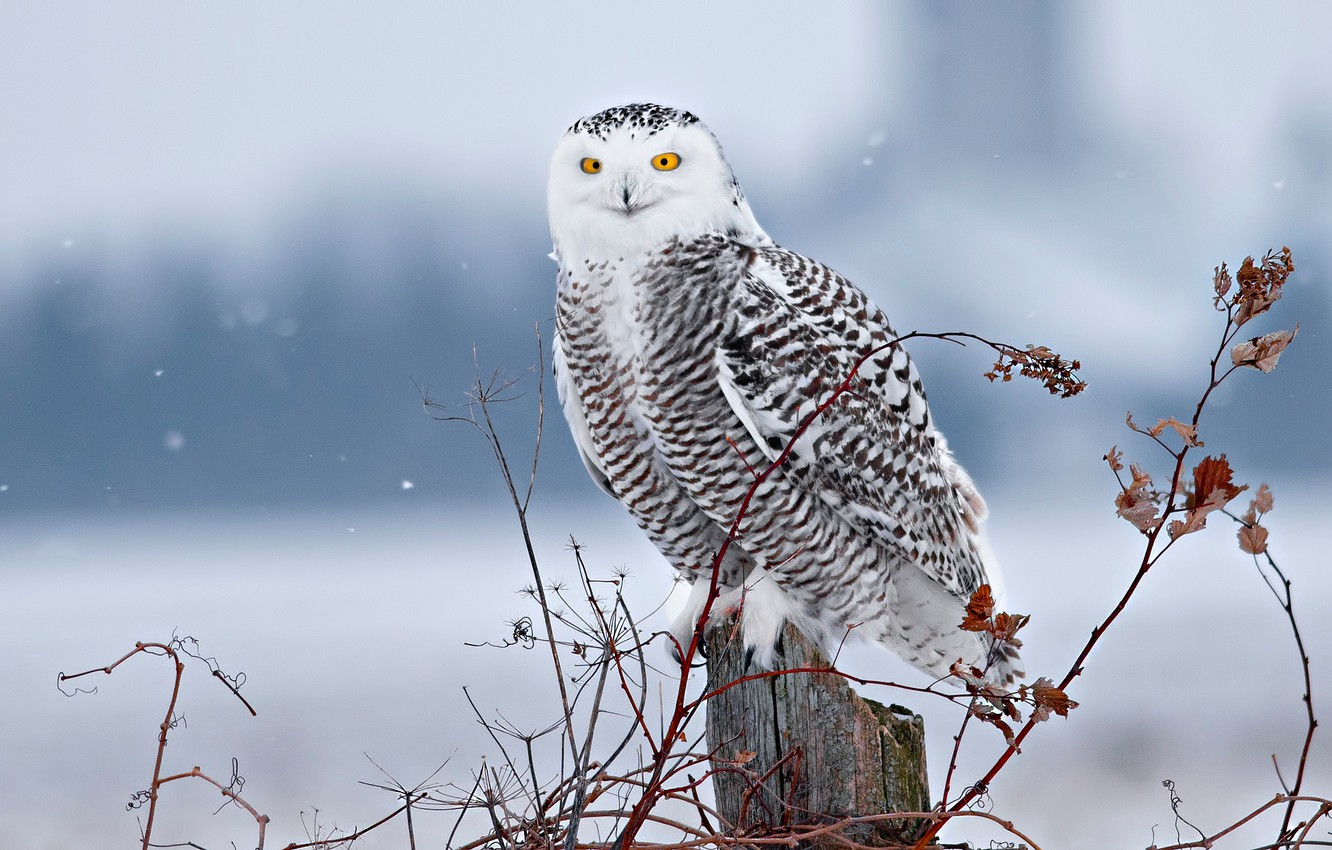 Wallpaper Winter Snow Branches Bird Stump Snowy Owl