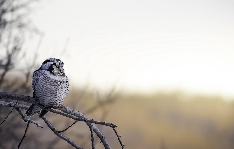 Photo wallpaper nature, bird, Northern Hawk Owl