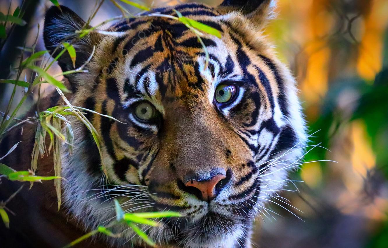 Photo wallpaper nature, tiger, beast