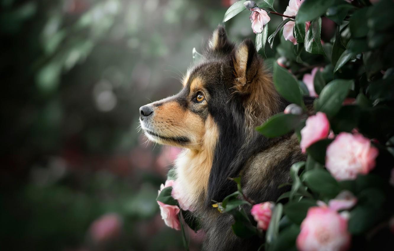 Photo wallpaper look, face, leaves, flowers, portrait, dog, profile, bokeh, Camellia