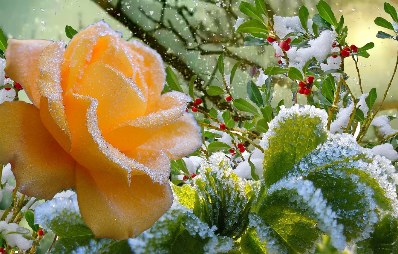 Photo wallpaper frost, autumn, snow, rose, Winter