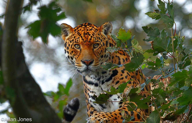 Photo wallpaper look, face, leaves, trees, branches, nature, predator, Jaguar, bokeh