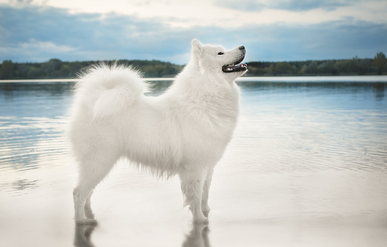 Photo wallpaper the sky, look, water, nature, pose, shore, dog, white, is, pond, Samoyed