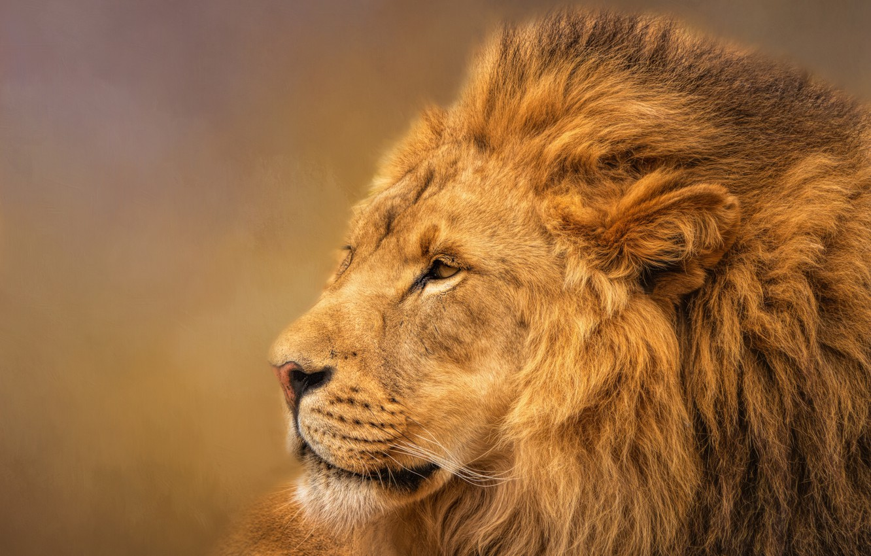 Photo wallpaper Leo, king, mane, profile, handsome