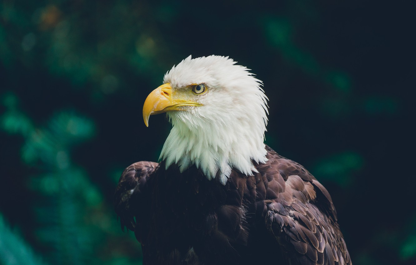 Photo wallpaper greens, bird, predator, eagle, bokeh