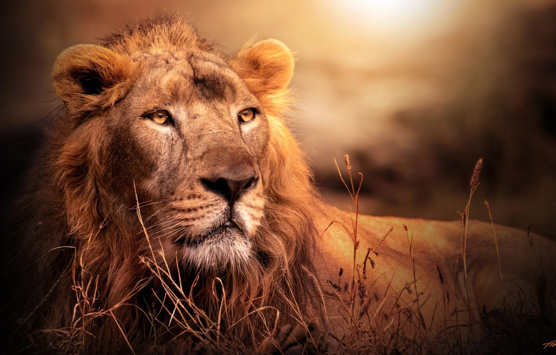 Photo wallpaper look, light, Leo, Africa