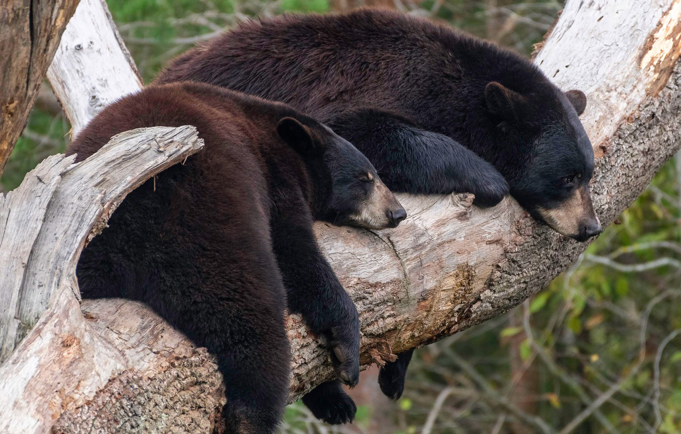Photo wallpaper nature, pose, tree, stay, bear, bears, pair, a couple, Duo, bears, on the tree, two, …