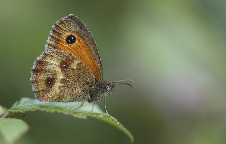 Photo wallpaper macro, butterfly, bokeh, ox-eye, the satyrinae bolooki