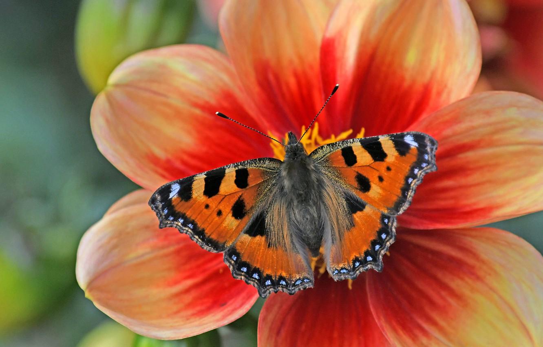 Photo wallpaper flower, macro, butterfly, petals, Dahlia, Urticaria