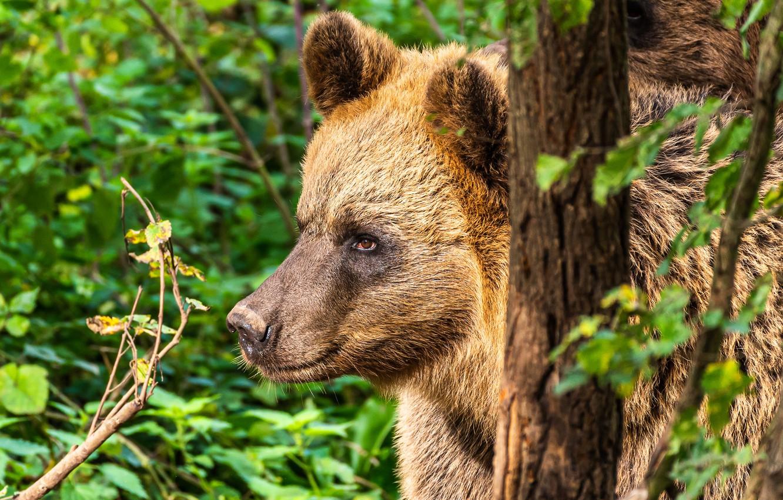 Photo wallpaper face, portrait, bear