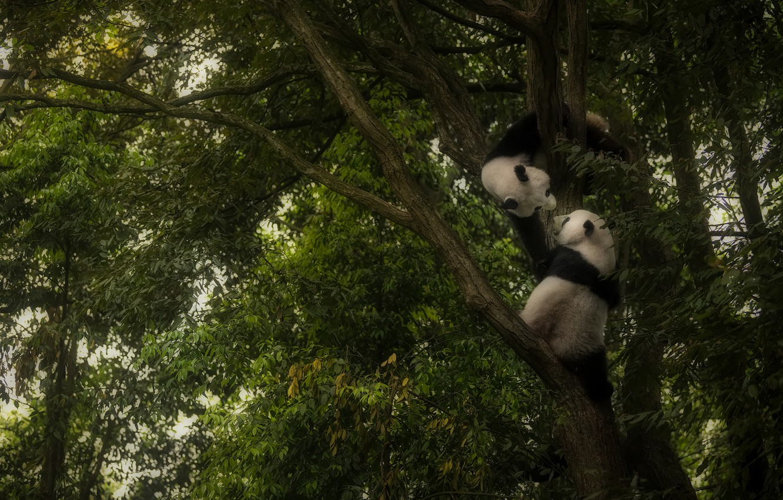 Photo wallpaper tree, the game, Panda, play, Panda