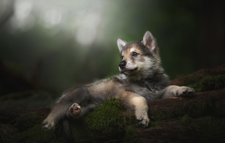 Photo wallpaper baby, puppy, bokeh, The tamaskan dog