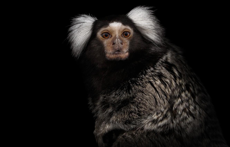 Photo wallpaper monkey, coat, look