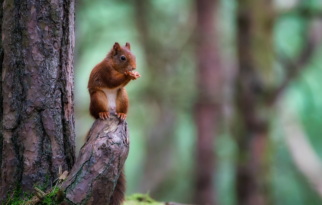 Photo wallpaper forest, nature, tree, animal, protein, trunk, snag, animal, rodent