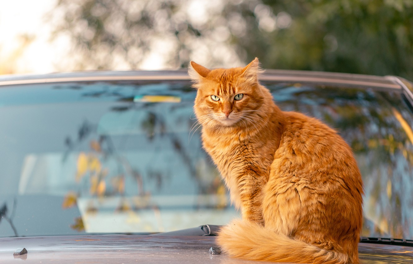 Photo wallpaper machine, autumn, cat, cat, look, glass, branches, reflection, background, red, car, sitting, bokeh, windshield